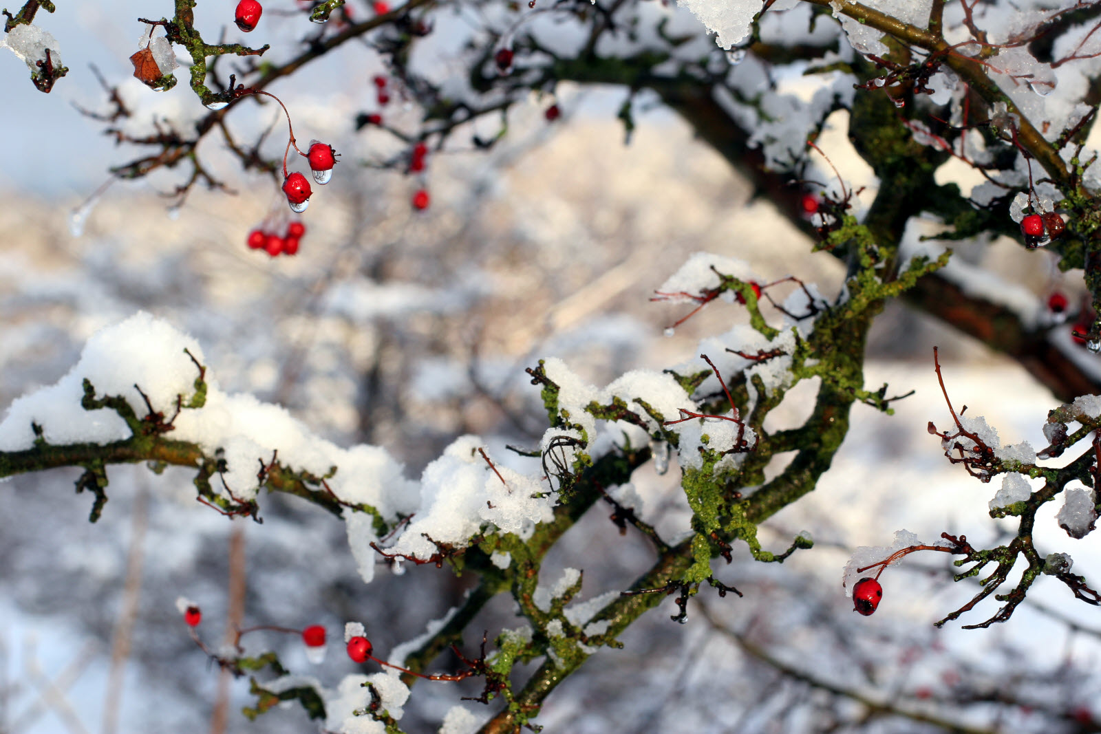 Winter_tree_berry_snow.jpg